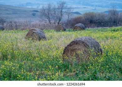Round dry haystacks in green grass at the end of the fall in the evening light