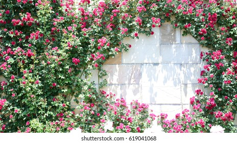 A round frame of red roses. a rambler pink flower. a climbing red rose.
