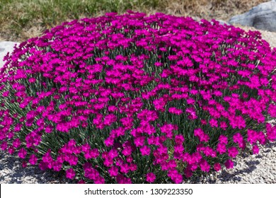 A round group of bright pink dianthus flowers used as landscaping in a gravel walkway by the edge of a lawn.