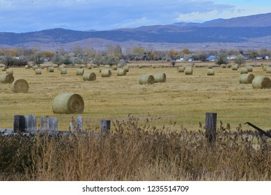 Round hay bales in field awaiting collection.
