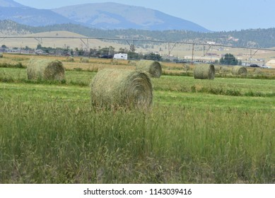 Round hay bales in summer field