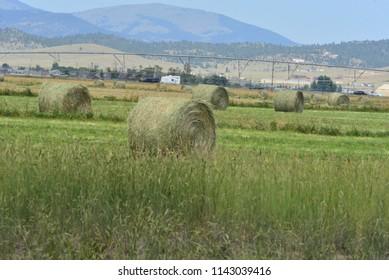 Round hay bales in summer field