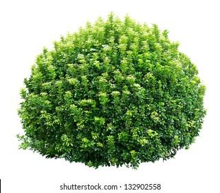 Round ornamental bush isolated on white background