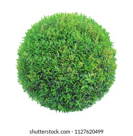 Round pom-pom shape clipped topiary tree isolated on white background for formal Japanese and English style artistic design garden