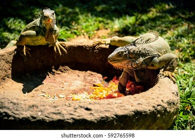 a round stone trough, two monitor lizard eat on a Sunny day, carrot and other vegetables