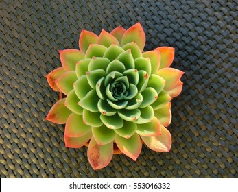 Round succulent plant top view on table
