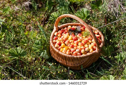 A round wicker basket full of yellow-orange cloudberries (Rubus chamaemorus). Season: Summer. Location: Western Siberian taiga.
