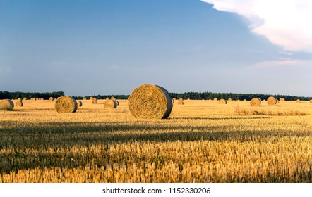 Round yellow straw bales in a cut field in summer day with a blue sky