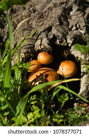 Rounded golden mushrooms (Gymnopilus suberis) growing inside of a dead cork tree log fallen into a green weeds field. Arrabida mountains, Portugal.