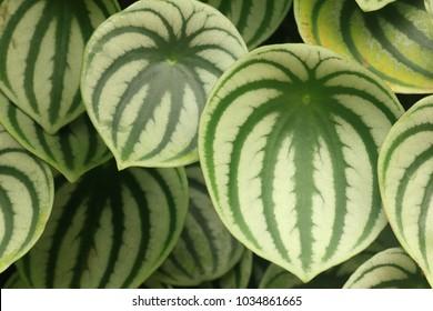 Rounded leaves background peperomia argyreia plant