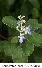 Roundleaf chastetree's leaf and purple flowers(Vitex rotundifolia)