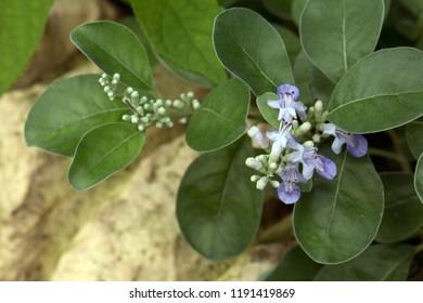 Roundleaf chastetree's leaf and purple flowers(Vitex rotundifolia)