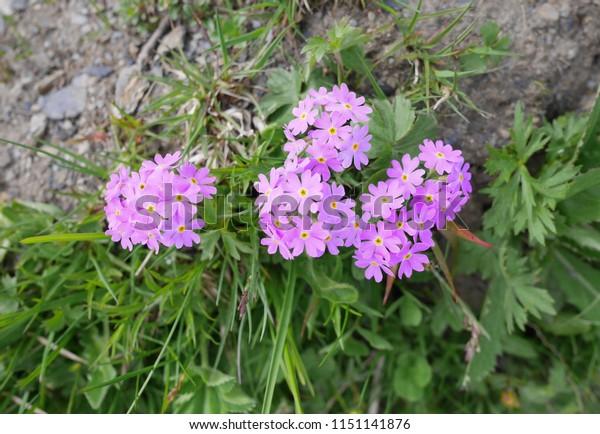 Roundleaf Rock Jasmine Small Type Flowers Stock Image