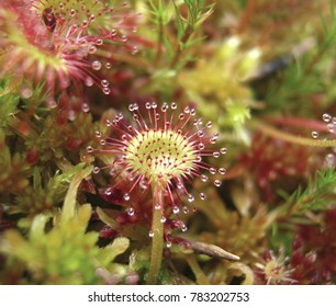 Round-leaved sundew, Drosera rotundifolia, in peatmoss, Sundew, or dew plant, or lustwort, in a small carnivorous, or insectivorous, swamp plant that catch insects, with sticky drops on its leaves.