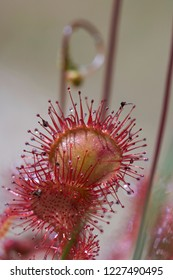 Round-leaved sundew - macro shot of the tentacles with their sticky secretion