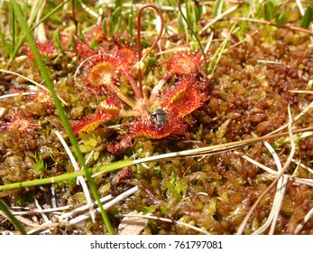 round-leaved sundew and moss