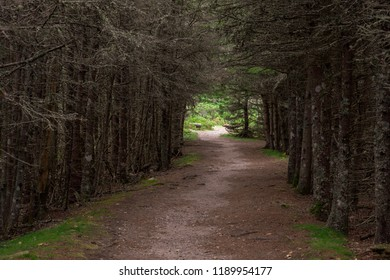 Route through dead pines along the Wonderland Trail on Mount Desert Island