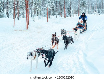 Rovaniemi, Finland - March 3, 2017: Family riding Husky dogs sled in Finland in Lapland in winter.