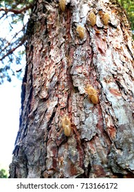 Rovigo, some nymph wraps left on a tree trunk after mutation