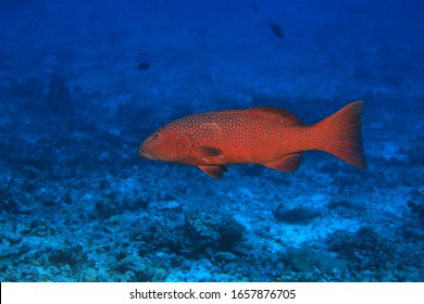 Roving coralgrouper fish (Plectropomus pessuliferus) underwater in the indian ocean