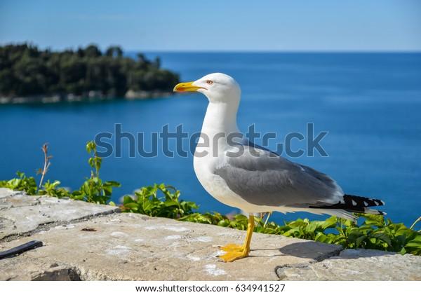 Rovinj, Croatia , Seagull