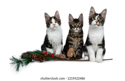 Row of 3 sweet black tabby with white Maine Coon cat kittens with a christmas branch, sitting straight up and looking to camera. Isolated on white background.