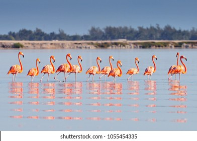 A row of American flamingos (Phoenicopterus ruber ruber-American Flamingo) in the Rio Lagardos, Mexico.