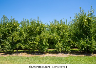 Row of Apple Trees in an Orchard