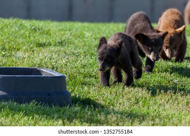 A row of baby bears walking to a large water bowl with sunshine and green grass.
