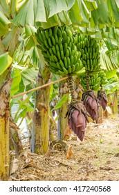 Row of banana trees with a bunch of bananas.