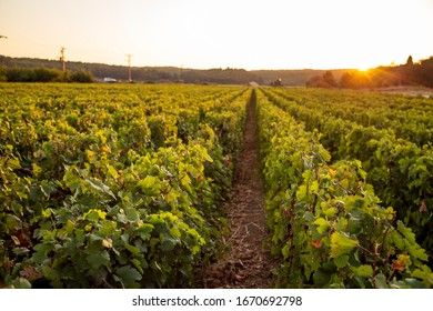 Row of beautiful grape yard before sunset in Canakkale, Turkey. Sunshine view of light green clusters of grapes on the plantation