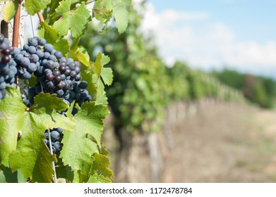 a row of black grapes in the vineyard