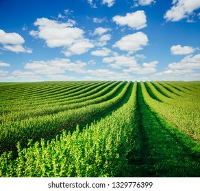 Row of blackberry bushes on a summer farm in sunny day. Location place of Ukraine, Europe. Concept of agrarian industry. Scenic image of awesome garden in spring time. Discover the beauty of earth.