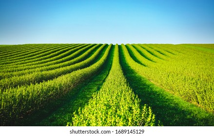 Row of blackcurrant bushes on a summer farm in sunny day. Location place of Ukraine, Europe. Photo of creativity concept. Scenic image of agrarian land in springtime. Discover the beauty of earth. - Shutterstock ID 1689145129
