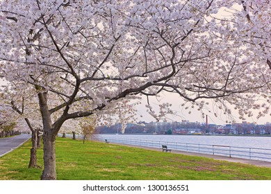 Row of blossoming cherry trees in East Potomac Park near the water, Washington DC, USA. Spring landscape with blossoming cherry trees and benches along the river.