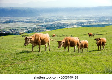 Row of brown cows walking on green grassland in Aso, Kumamoto
