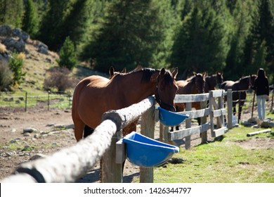 A row of brown horses, front horse in focus eating from a blue bucket. All horses standing at a fence, grass paddocks on either side, pine forest of trees behind.