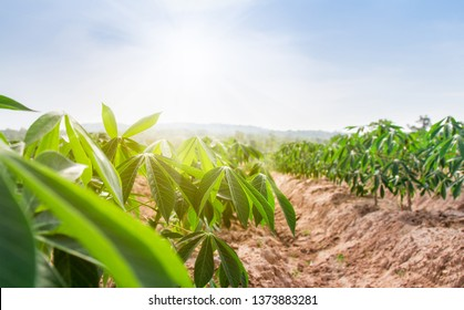 row of cassava tree in field. Growing cassava, young shoots growing. The cassava is the tropical food plant,it is a cash crop in Thailand. This is the landscape of cassava plantation in the Thailand.