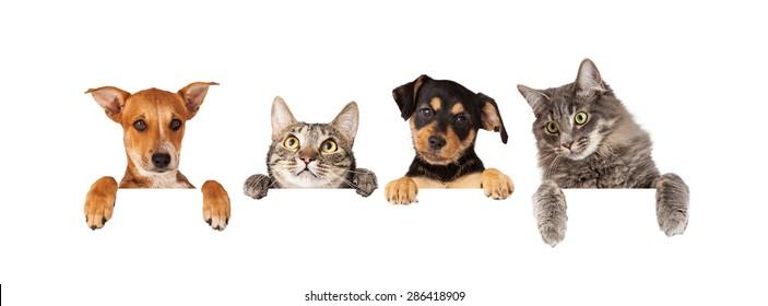 猫和狗挂他们的爪子在一个白色的旗帜行。 图片尺寸适合流行的社交媒体时间轴照片占位符