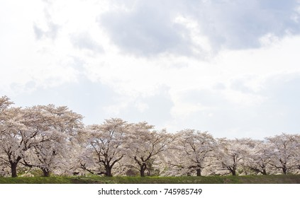 Row of Cherry blossom full bloom season in Kikuta Fukushima, Japan. Natural background concept.
