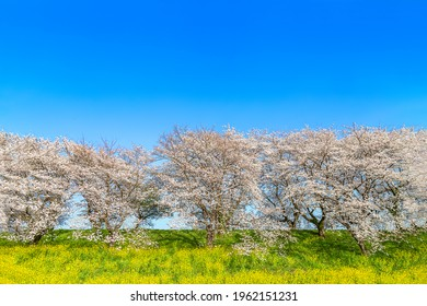 Row of cherry blossom trees and field of rape blossoms in full bloom against backdrop of blue sky. Spring image