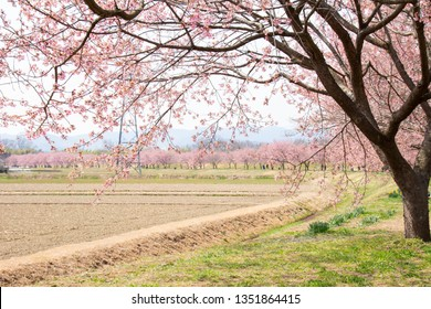 It is a row of cherry blossom trees in full bloom of An Asagasa Sakura cherry blossoms park in Kita Asaba, Saitama Prefecture. There are also flower visitors to see the beautiful scenery.