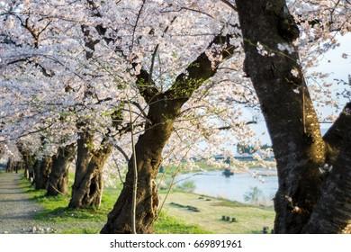 Row of Cherry Trees in Kakunodate, Japan.