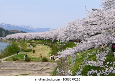 A row of cherry trees in Kakunodate.This place is Hinokinaigawa river beach.Kakunodate Daisen Akita Japan.Late April.