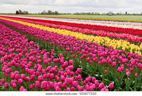 row of colorful tulips on Dutch spring fields
