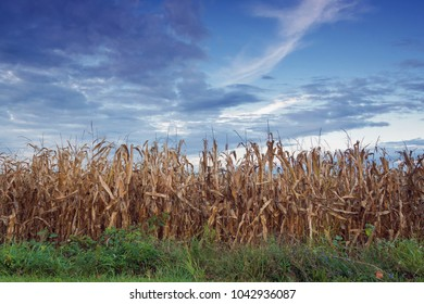 Row of Corn Stalks With Dramatic Sky