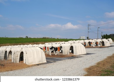 row of corrals for little calf, cow farm, dairy business