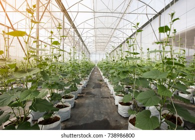 row of cucumber plant growing in greenhouse with drip irrigation