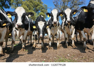 A row of curious dairy cows in a field, Alt Emporda, Girona, Catalonia, Spain
