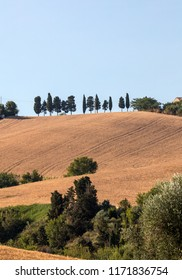 A row of cypresses among growing grain on rolling hills of Abruzzo. Italy